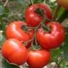 大量供应(提供)优质番茄