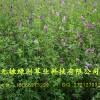 提供(供应)大量优质紫花苜蓿草