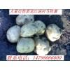 出售黑龙江讷河土豆