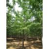 低价供应(提供)0-60公分银杏树
