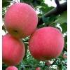 山东红富士苹果低价向广大苹果客商朋友招商