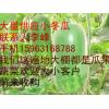 大量供应绿春小冬瓜