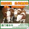 肉牛育肥牛种牛牛犊