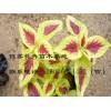 潍坊市优惠的黄彩叶草供应