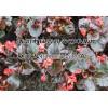 物美价廉四季海棠 来钰鑫花卉苗木基地,买超值的四季海棠
