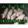 供应临沂三元仔猪价格,三元仔猪养殖基地,山东仔猪供应商