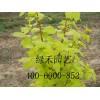 彩叶苗木基地供应价格合理的金叶白蜡——金叶白蜡价格超低