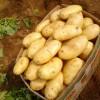 低价销售山东优质荷兰土豆