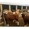 内蒙古肉牛养殖场