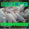 18764958222仔猪小猪批发/山东三元仔猪产地价格