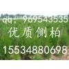 山西苗圃北京桧蜀桧蜀桧球西安桧