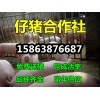 供应仔猪苗猪山东仔猪价格15863876687