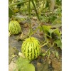 供应头茬花蕾绿宝甜瓜