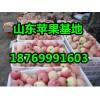 今日新红星苹果价格/山东苹果基地