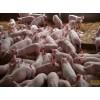 黑母猪杜洛克种猪抄底价