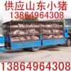 猪秧子供应批发山东猪秧子价格