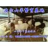 供应济宁销量好的波尔山羊——波尔山羊苗价格
