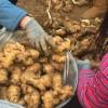 生姜市场大黄姜价格行情