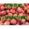 山东苹果产地优质红富士苹果今日价格