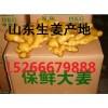 供应山东优质生姜