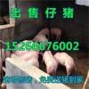 山东仔猪价格报价发布