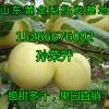 供应优质黄金梨批发价格