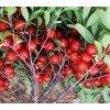 供应钙果苗、新品种钙果苗、山西产地钙果苗