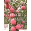 万亩红富士苹果急售 保证红富士苹果质量