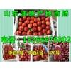 山东大棚油桃大量上市油桃今日价格