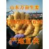 山东生姜产地 山农一号高产姜种批发价格