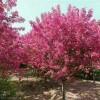 临沂兴旺苗木繁育合作社供应绚丽海棠1--6公分