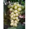 农户大量出售葡萄