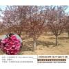垂丝海棠苗圃直供-宏泰花卉苗木