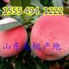 15554941222山东毛桃批发价格