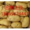 土豆种子批发、供应