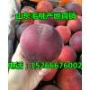 毛桃近日上市价格,山东省早熟苹果上市价格