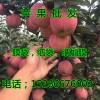 山东省红将军苹果价格行情15266676002